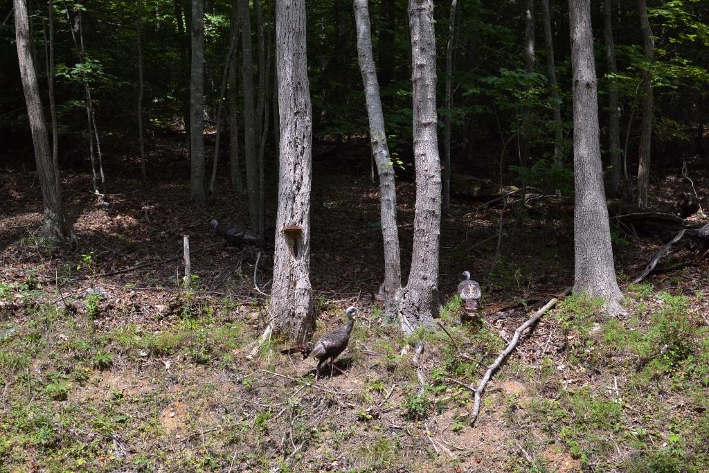 Turkeys on the Hill