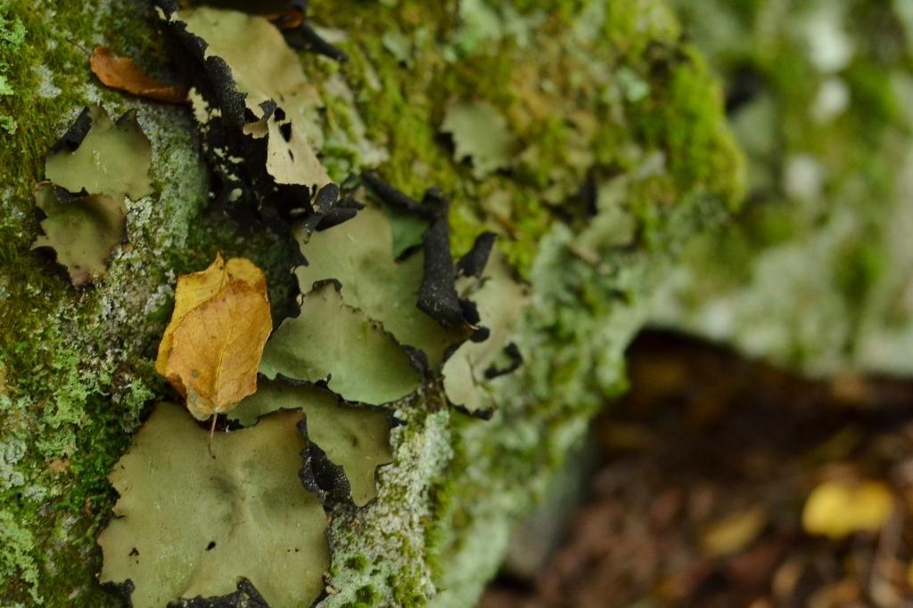 Leaf on the Lichen