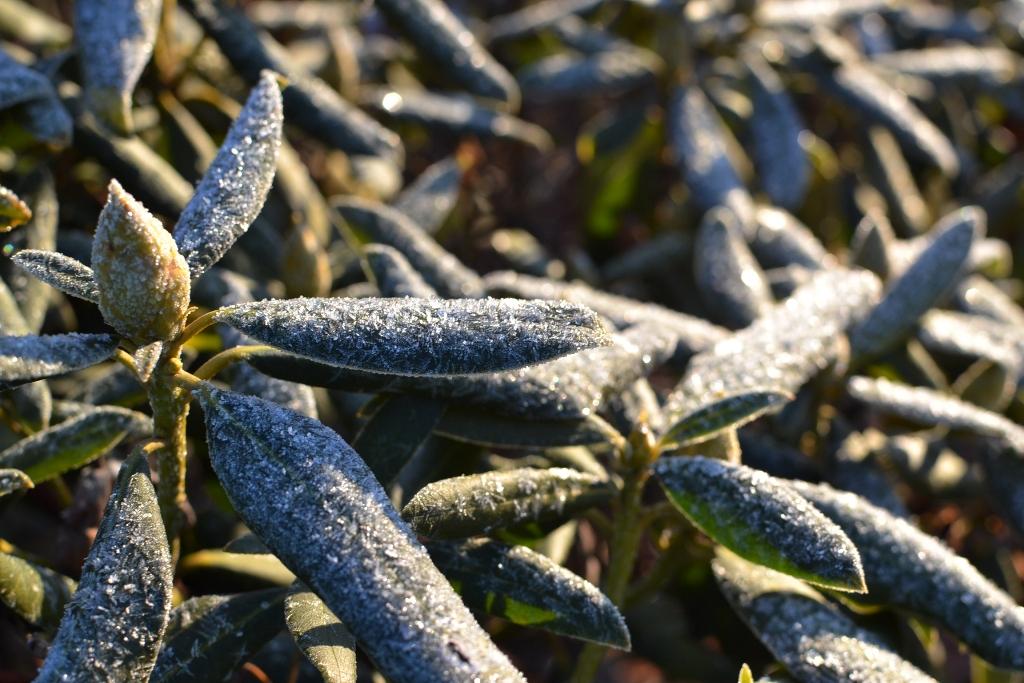 Frosty Rhody
