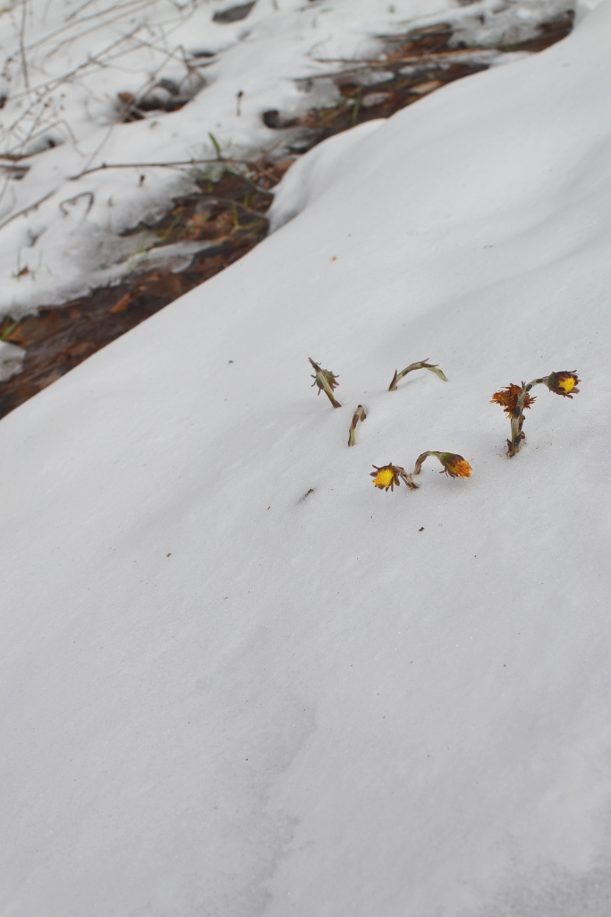 Coltsfoot in the Snow