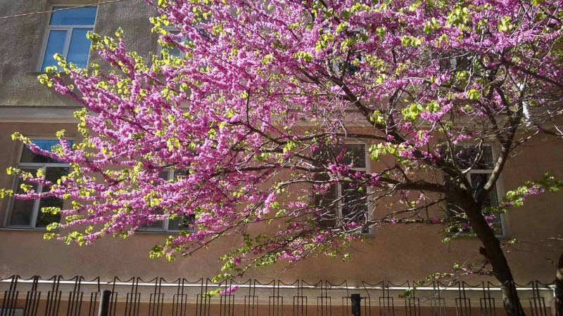 багряник европейский, иудино дерево