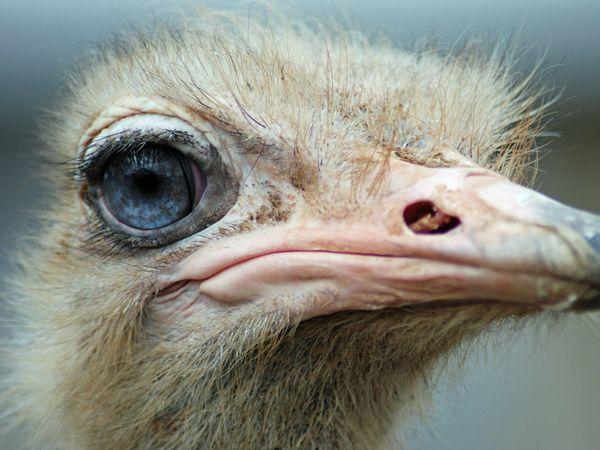 blue-eyed-ostrich_12606_600x450