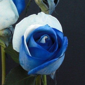white-blue-tinted-wholesale-roses-z
