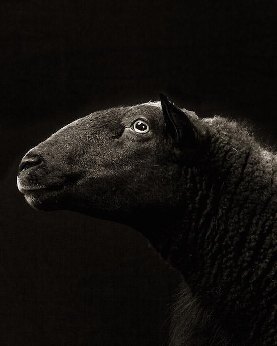 ovtsy-i-kozy-v-portretah-Kevin-Horan_15