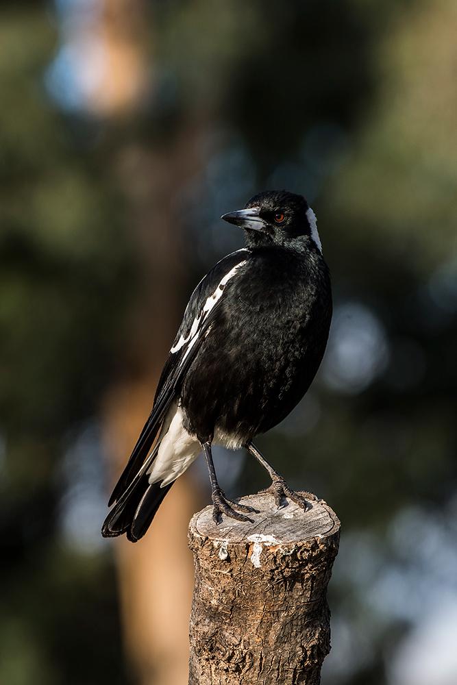 Красивые птицы / фотограф Peter Murrowood