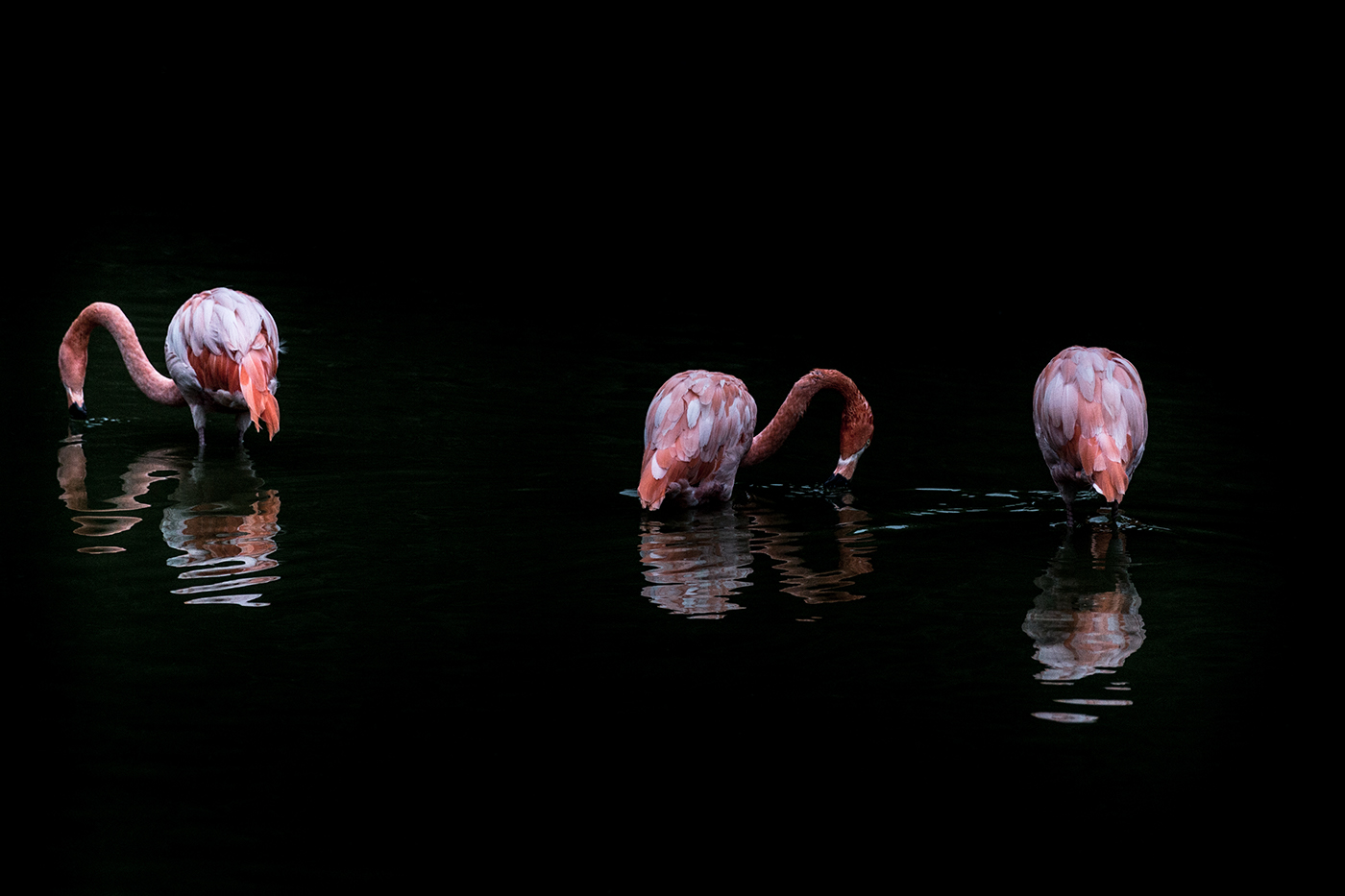 Розовый фламинго / фото Serge Fonchin