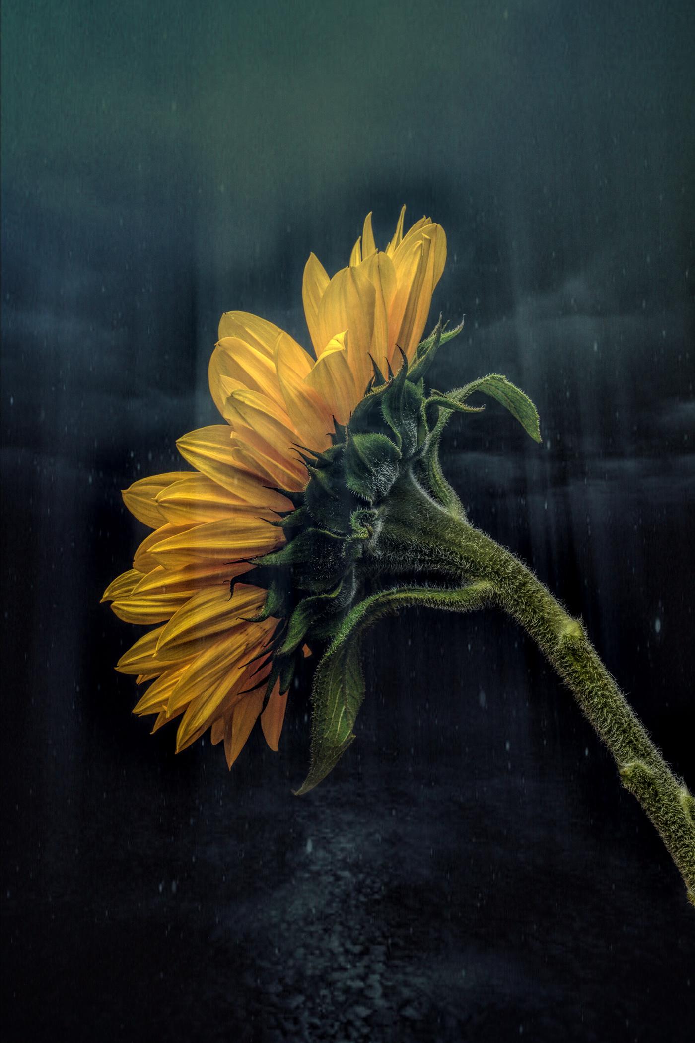 Sunflower / фото Bettina Güber