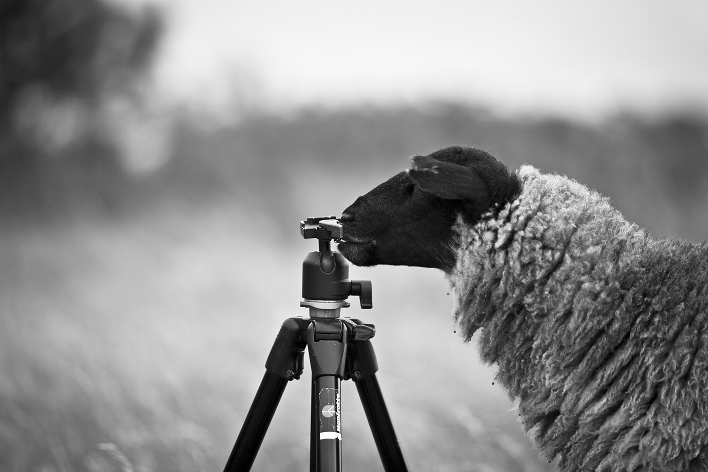 Sheep / фото Steffen Greisiger