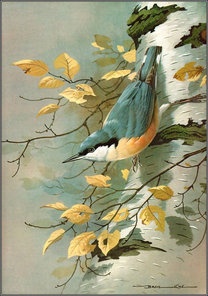 птицы Basil Ede