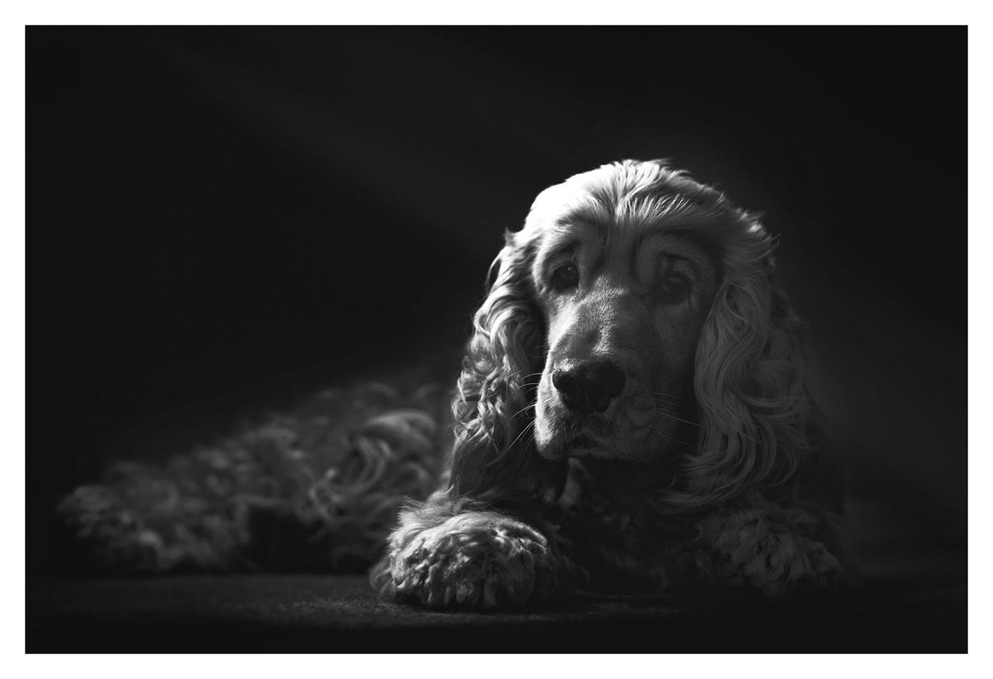 English cocker spaniel / фото S Plumauvent