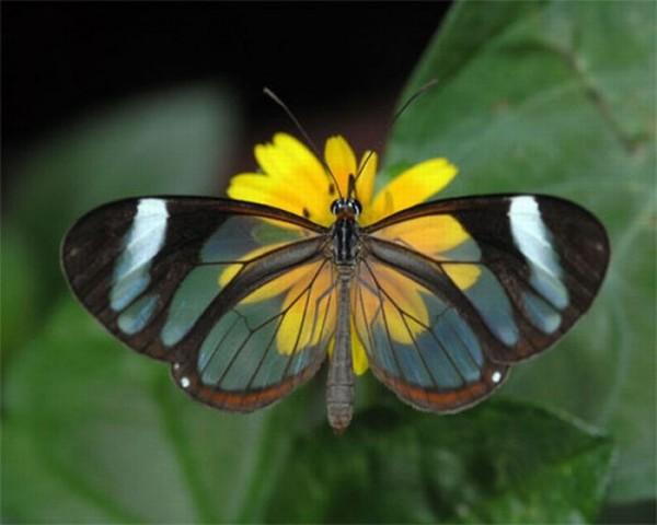 glasswing_butterfly_01