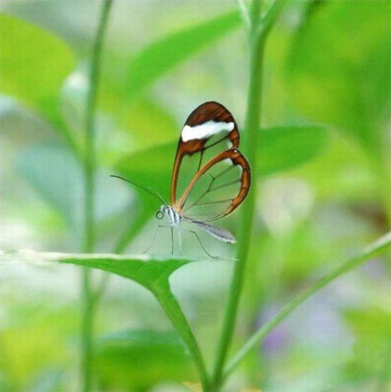 glasswing_butterfly_02