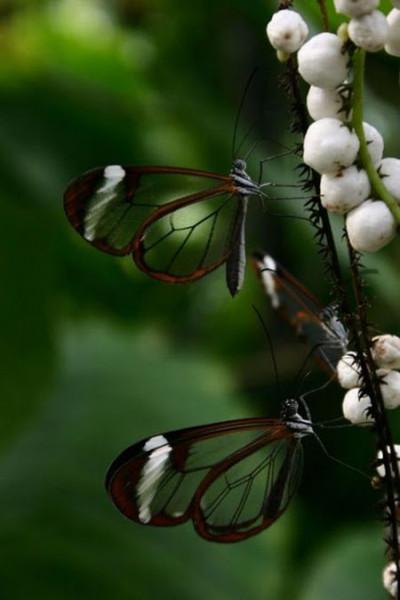 glasswing_butterfly_03