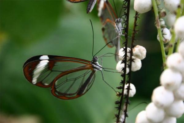 glasswing_butterfly_04
