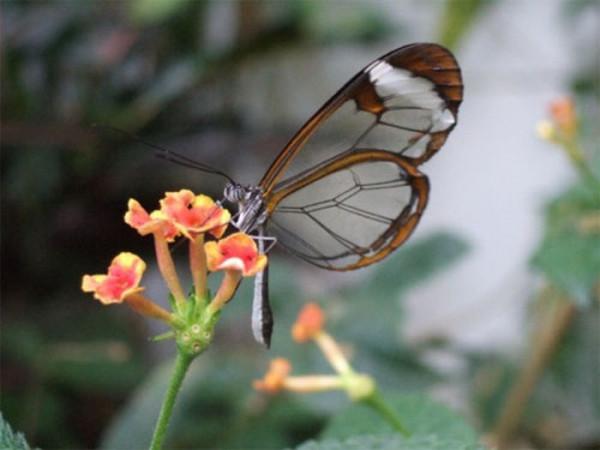 glasswing_butterfly_05