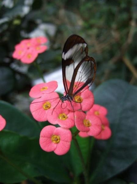 glasswing_butterfly_06