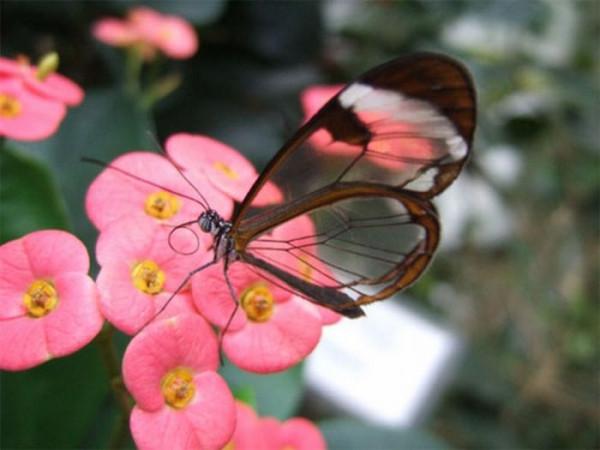 glasswing_butterfly_07
