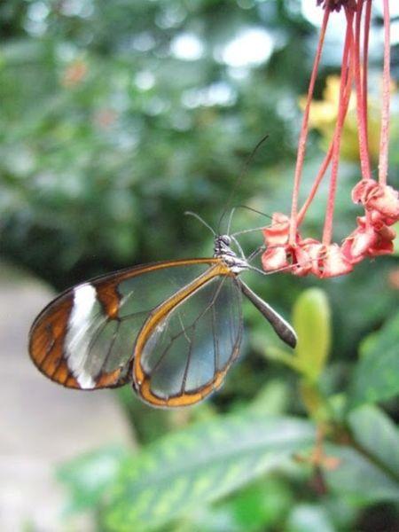 glasswing_butterfly_09