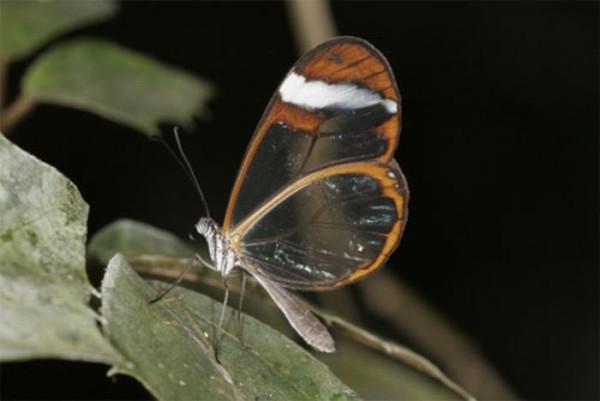 glasswing_butterfly_10
