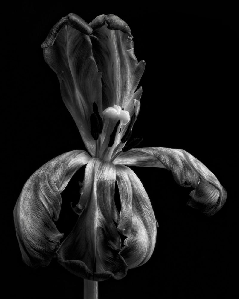 Tulip Тюльпаны / фото Lotte Grønkjær