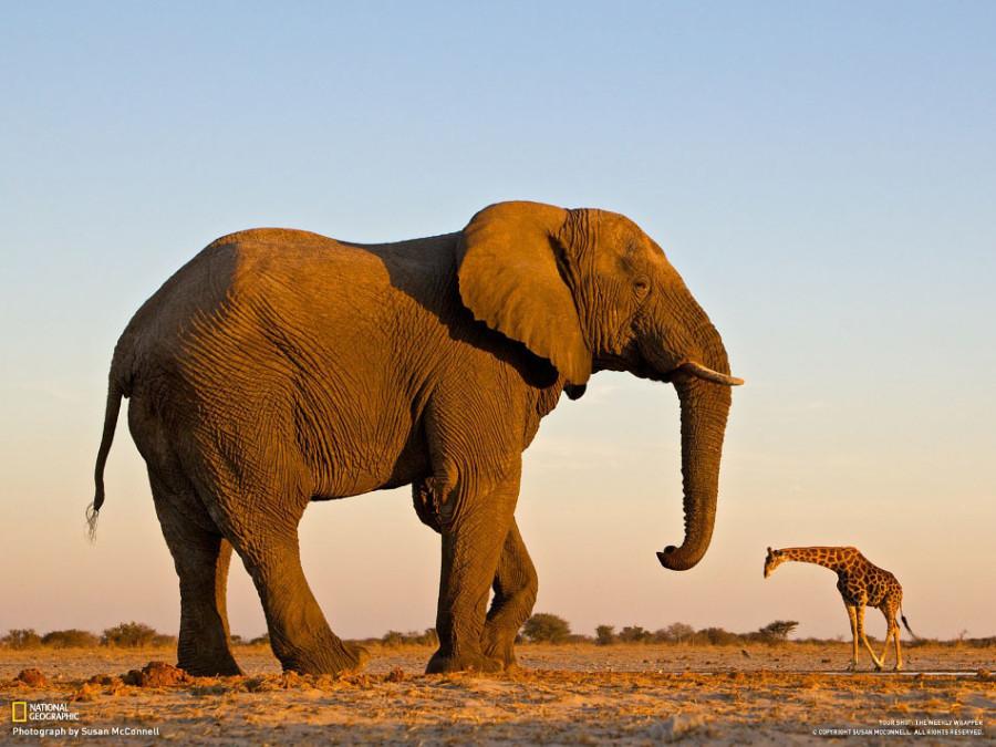 слон и жираф