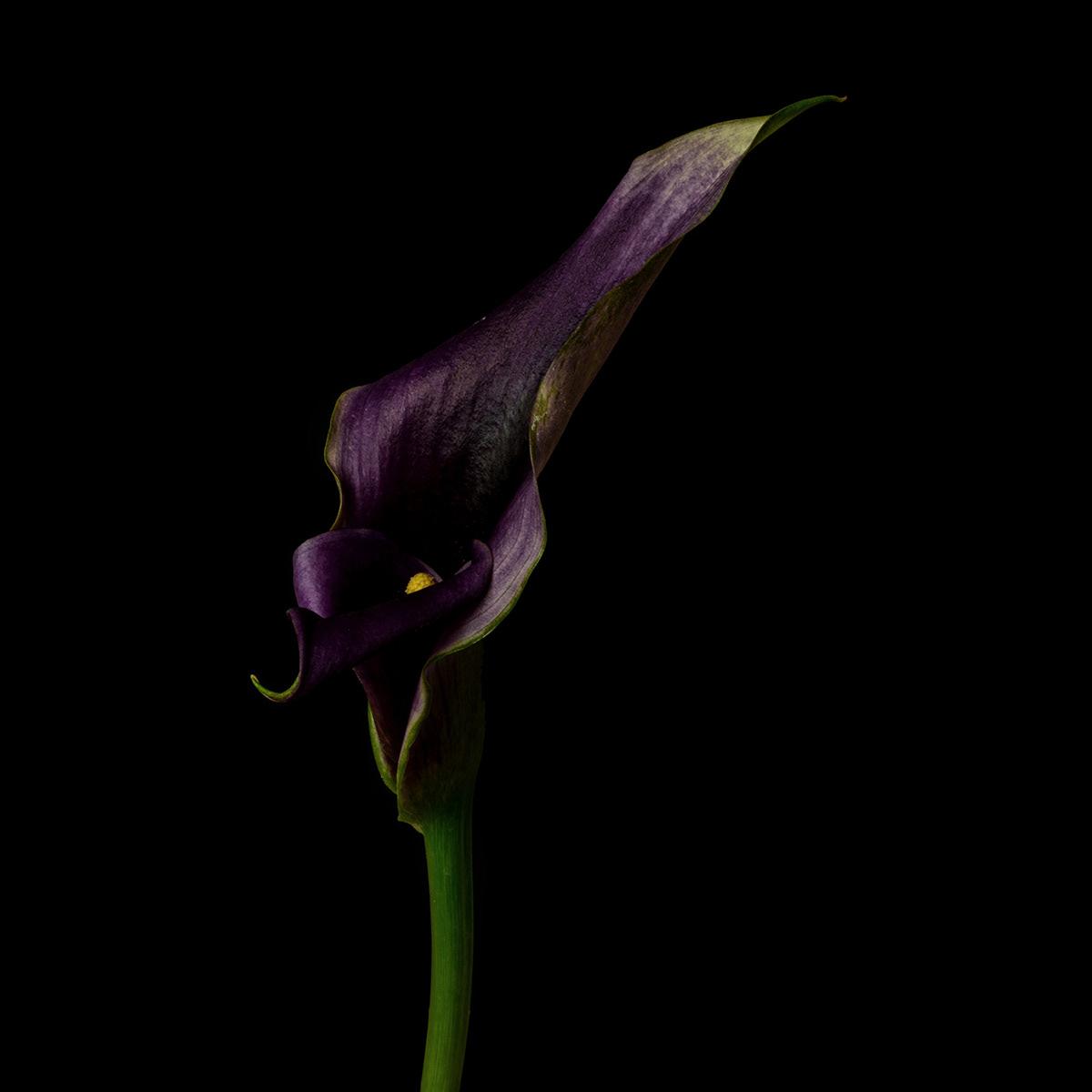 Calla Lily / фото Bettina Güber