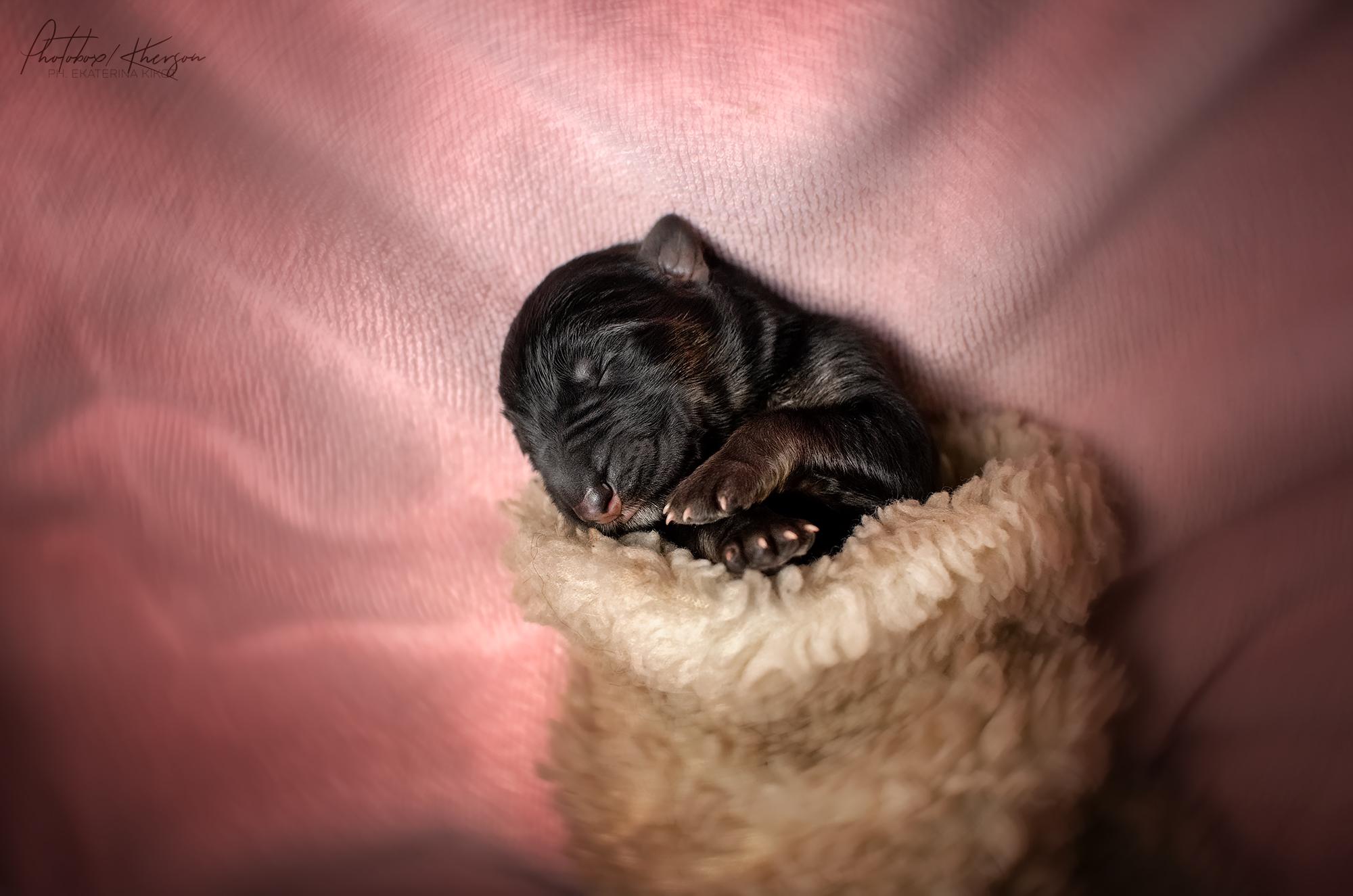 Ньюборн щеночки / фотограф Кикоть Екатерина