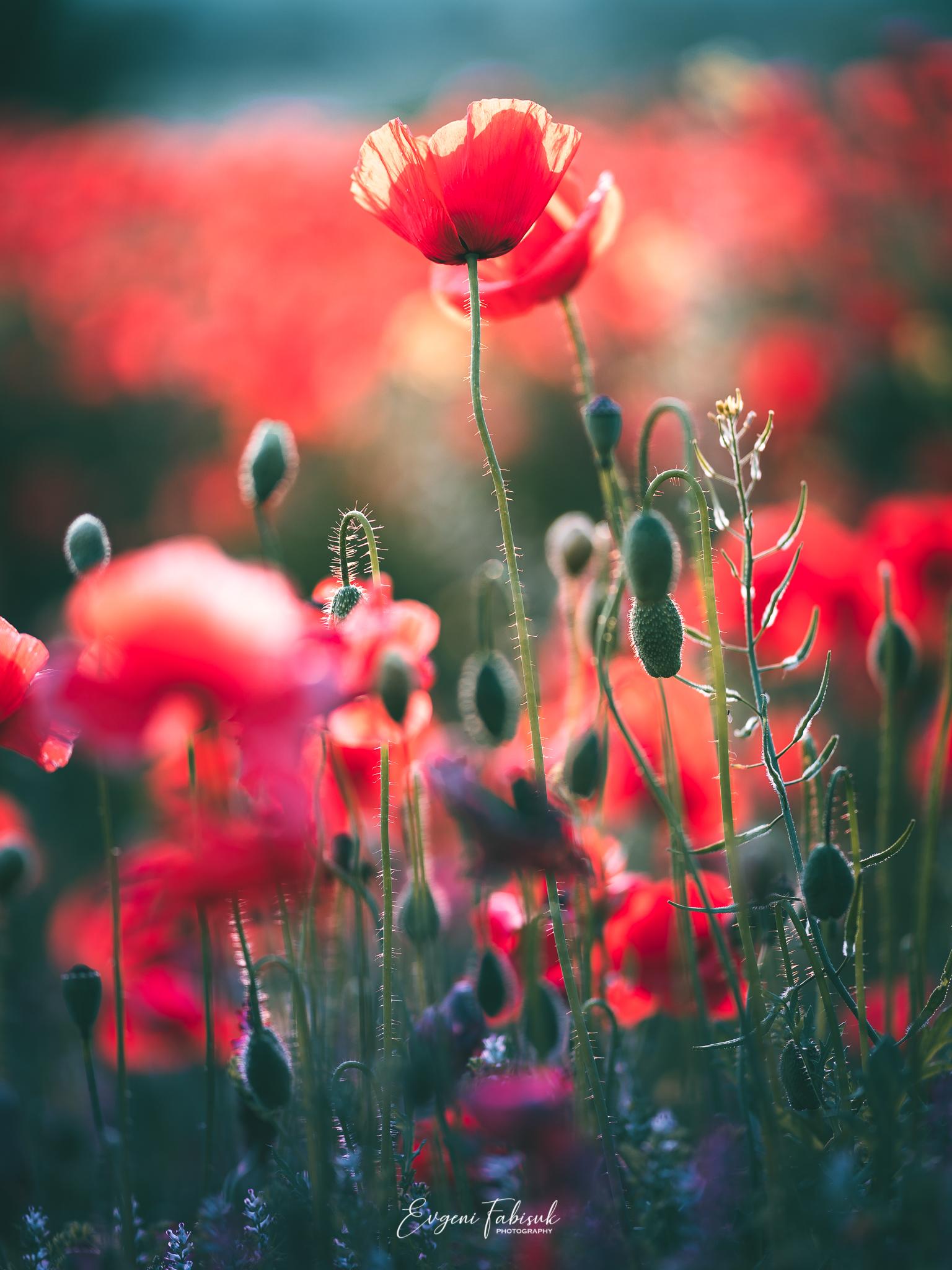 Poppies / фото Evgeni Fabis