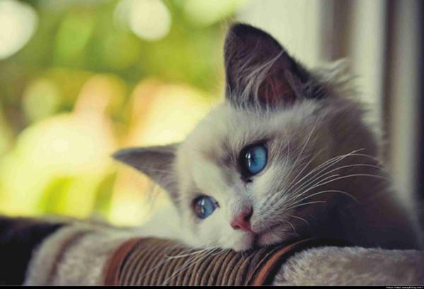 sad_cat_with_blue_eyes