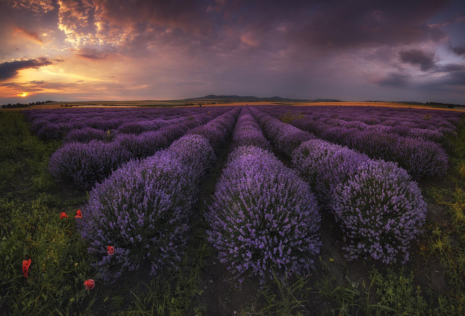 Лавандовые поля в Болгарии