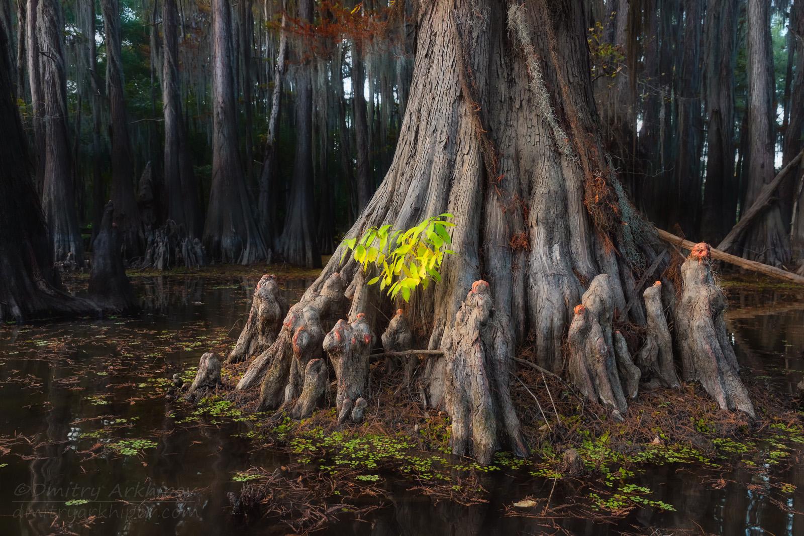 По кипарисовым болотам