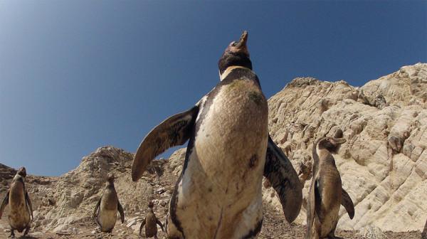 pingviny