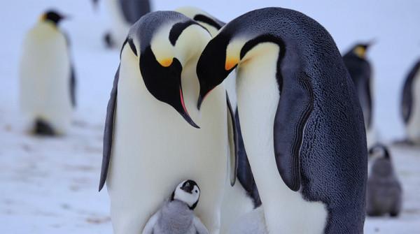 pingviny-1
