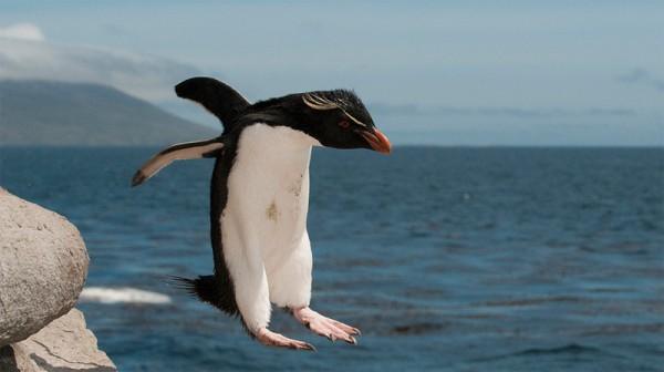 pingviny-4