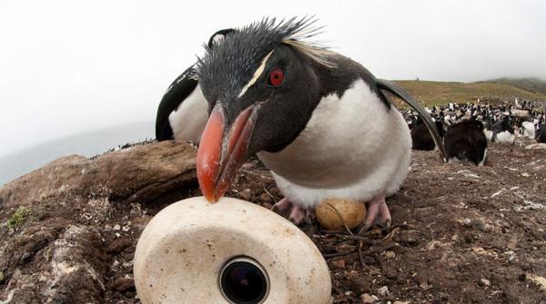 pingviny-5