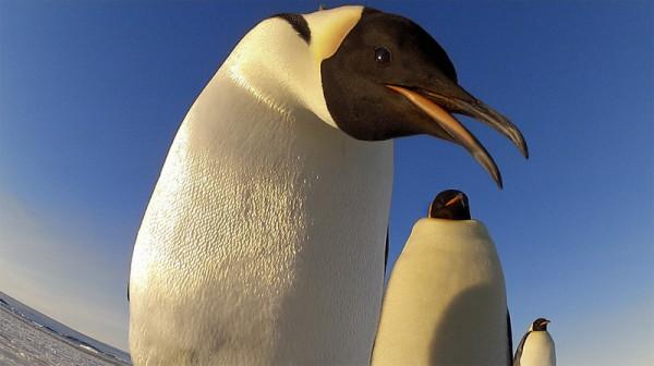pingviny-6