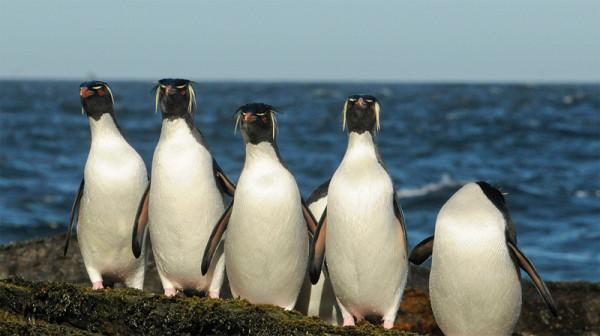 pingviny-7