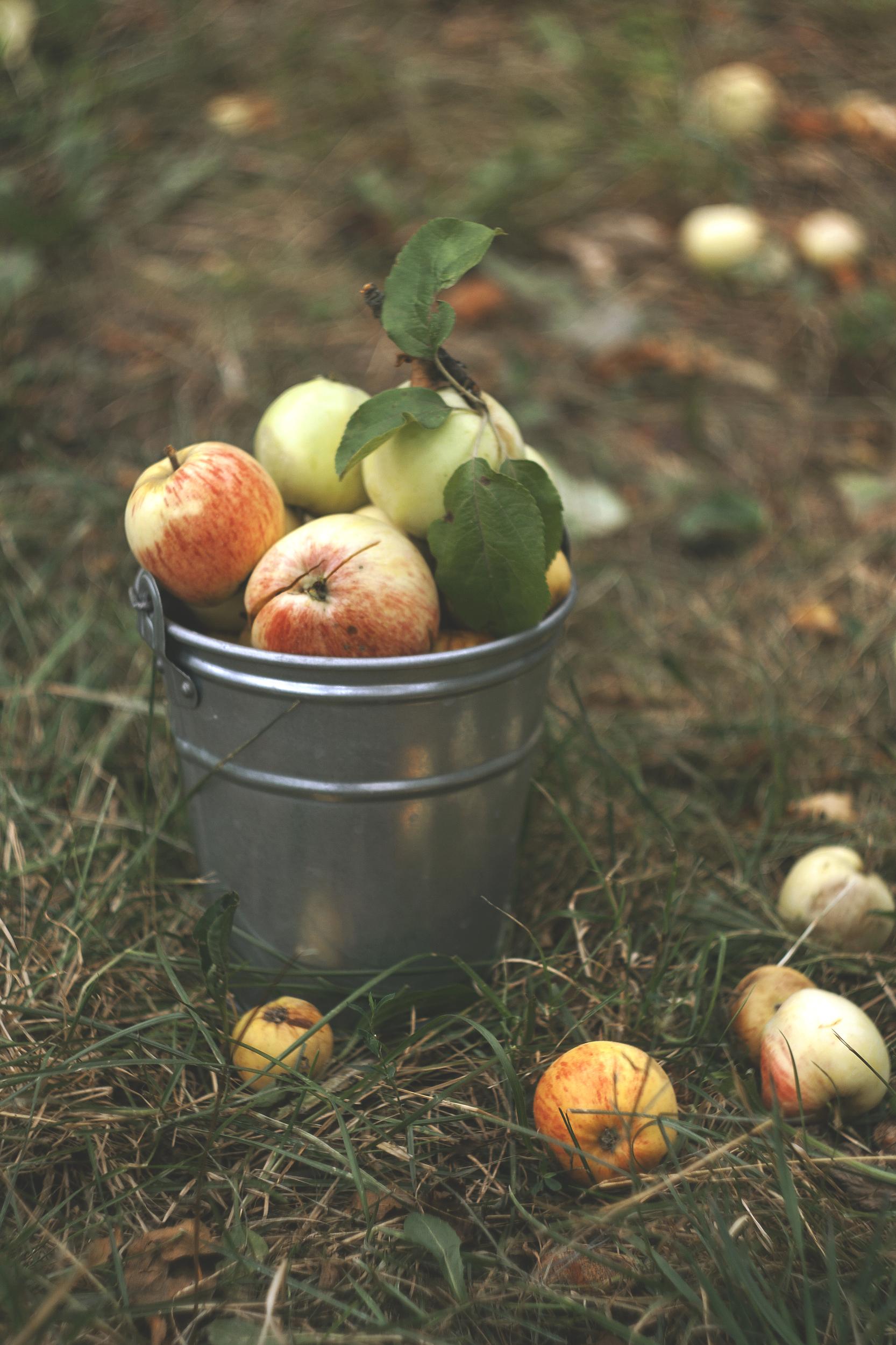 августовские яблоки