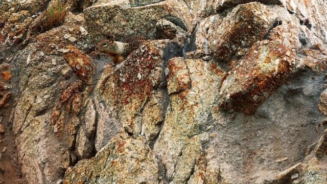 Калифорнийский суслик