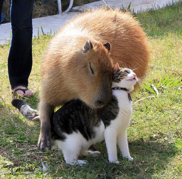 kapibara-7
