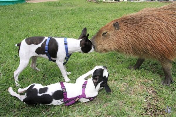 kapibara-9
