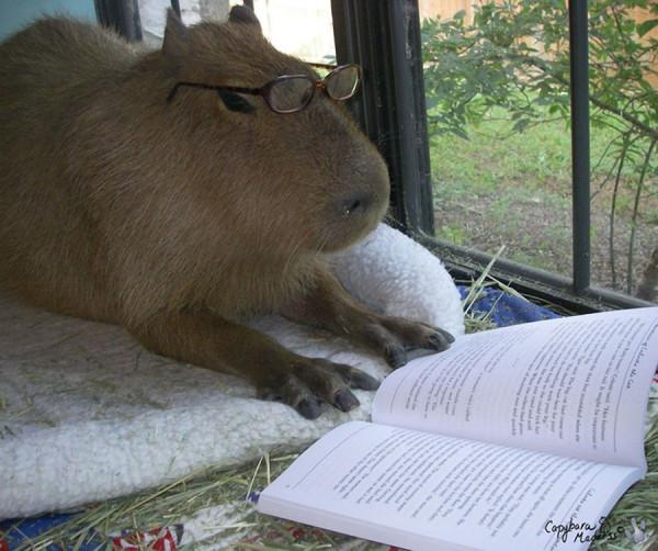 kapibara-12