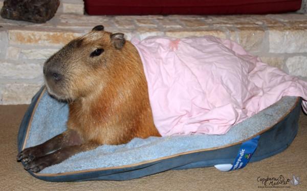kapibara-20