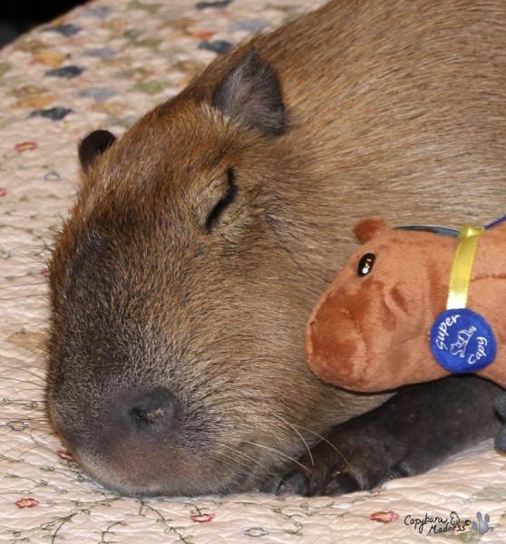 kapibara-21