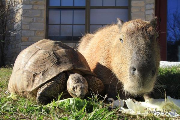 kapibara-26