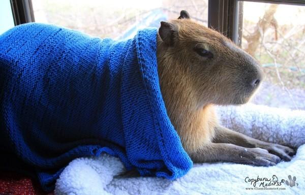 kapibara-28