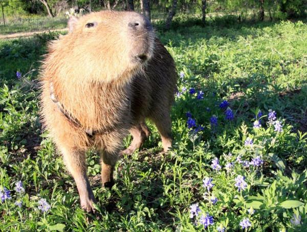 kapibara-29