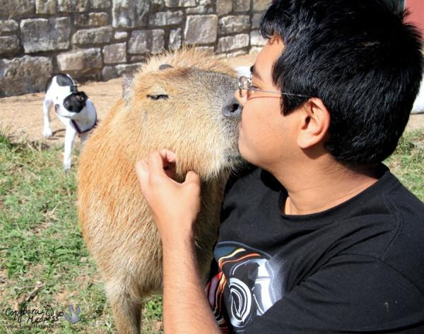 kapibara-31
