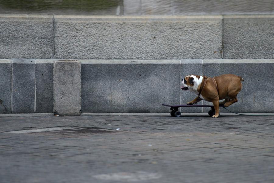 bulldog-rides-skateboard