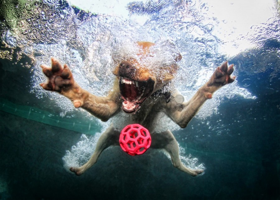 dog-belly-flops-into-the-pool-after-a-ball